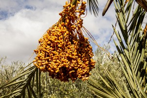 Dates, the energy food of the desert