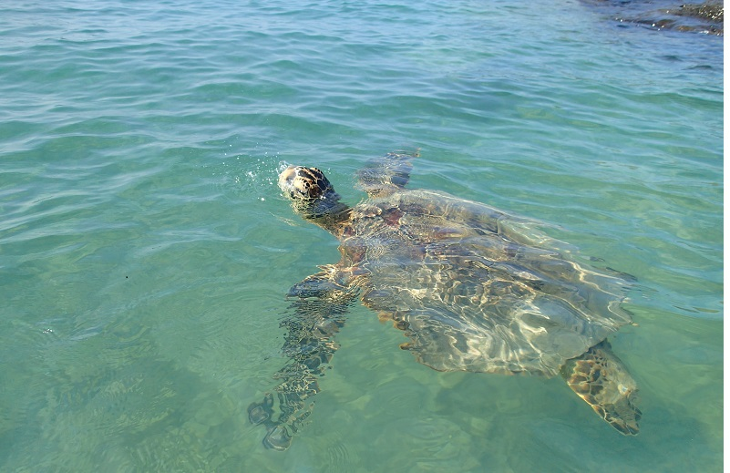 Hona sea turtle