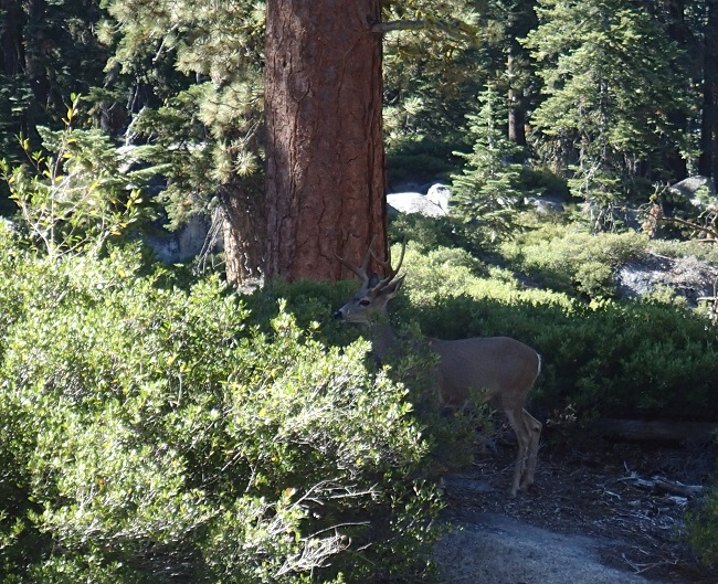 Deer on the trail near Taft Point