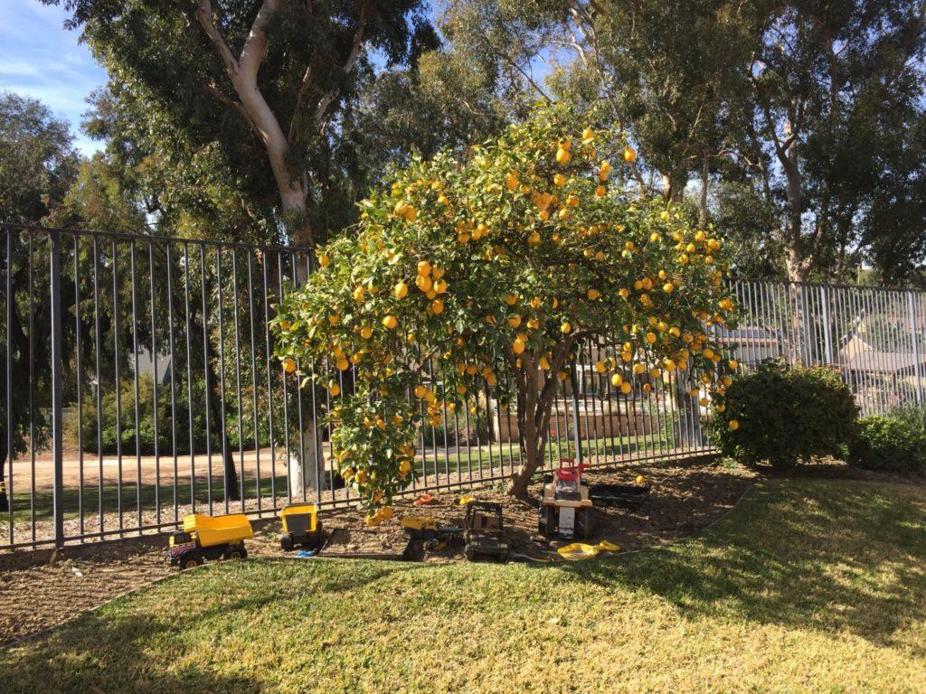 The Hiking Lady Family Lemon Tree